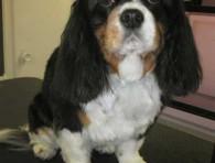 bella-cavalier-grooming