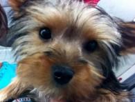 yorkie-puppy-groomer